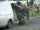 8 Julie Martin's horse Solitaire's Star receives attention from the farrier while 9 Emma Martin with CAA Khalil watch on