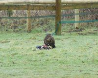 A buzzard takes an early lunch in the adjacent field